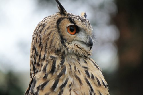 owl  eagle owl  eagle-owl