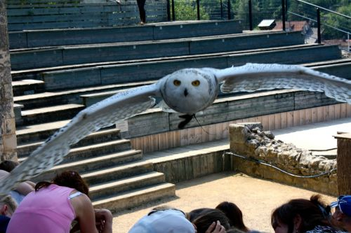owl snowy owl owl flight