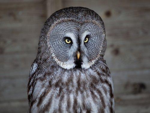 owl  yellow eyed owl  grey owl