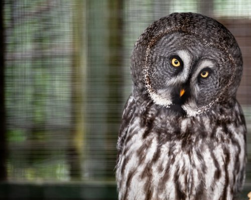 owl  yellow eyed owl  grey owl