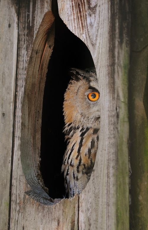 owl nocturnal curious