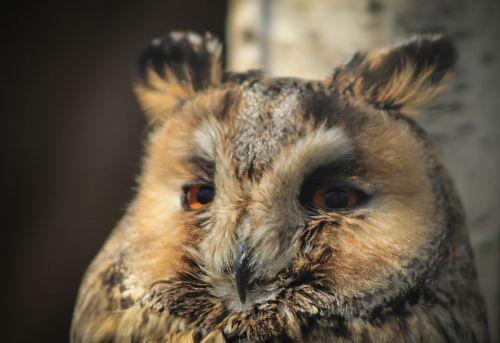 owl portrait animal