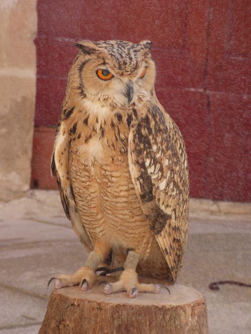owl eagle bird