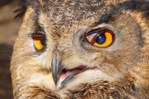 owl eagle owl bird