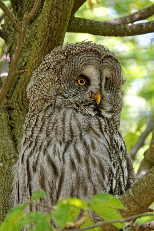 owl barn owl bird