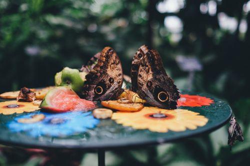owl butterfly butterflies butterfly