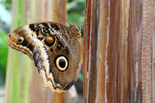 owl butterfly butterfly insect
