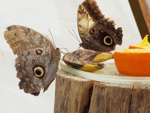 owl butterfly butterfly butterflies