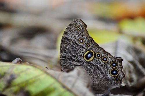 owl butterfly 10 eyes nature