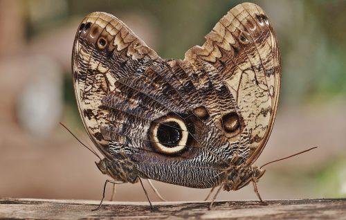 owl butterfly butterfly caligo