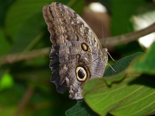 owl butterfly brassolini butterfly