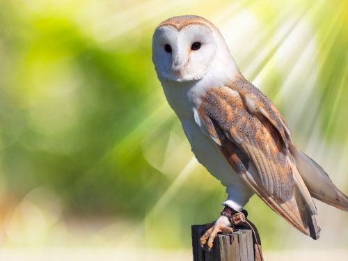 Owl Early Morning Sunlight