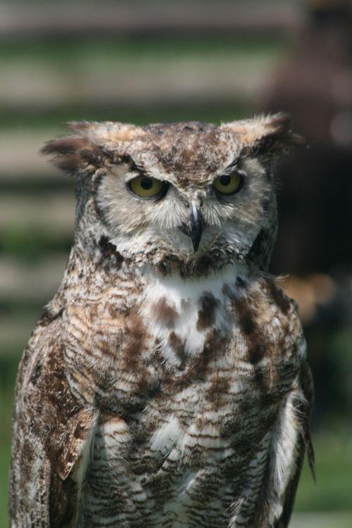owl owl feather falconer