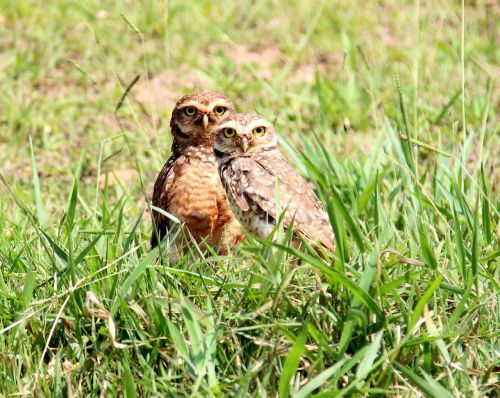 owls burrowing owl casal