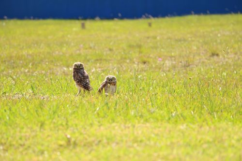 owls landscape birds