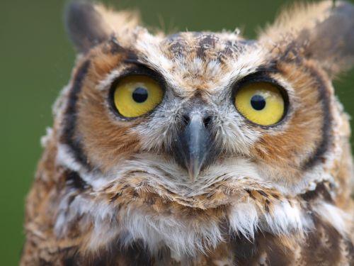 owls birds raptor