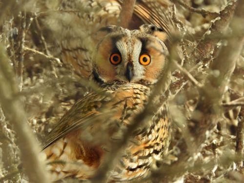 owls long eared owl raptor