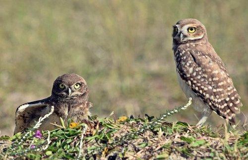 owls  birds  beach
