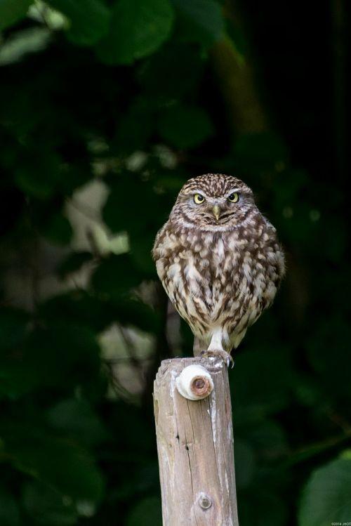 owls birds nature