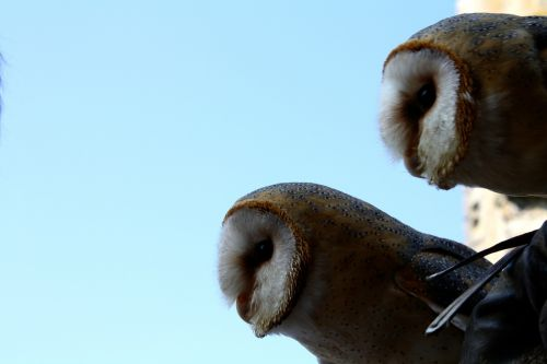 owls pair barn owls