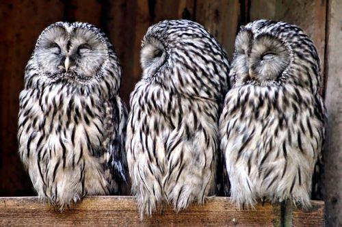 Owls Family Dance