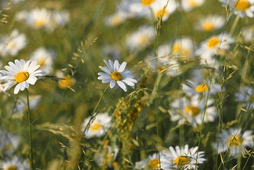ox-eye daisy  daisy  flower
