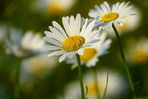 jautis-akių ramunės, Daisy, gėlė, žiedas, baltagalvė vulgare, Wildflower, pobūdį, žiedlapiai, lapai, stiebų, žiedadulkės