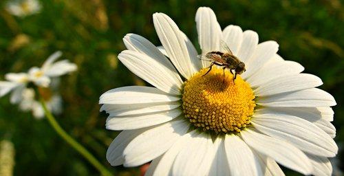 ox-eye daisy  flower  plant