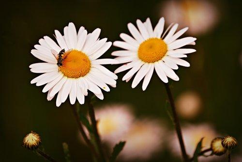 ox eye daisy  flower  plant