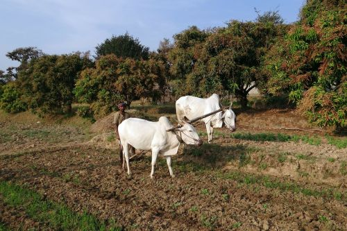 ox plough farmer tilling