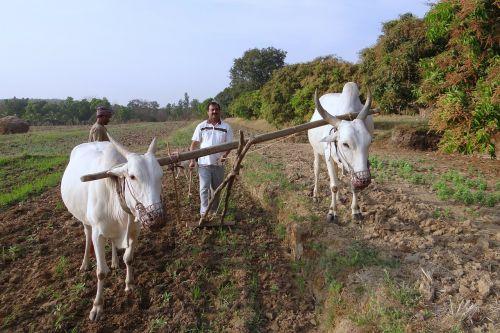 ox-plough tiller ox plough