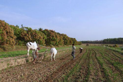 ox-plough ox plough farmer