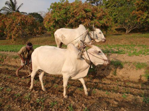 ox-plough bullocks farmer