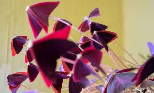 oxalis plant flower