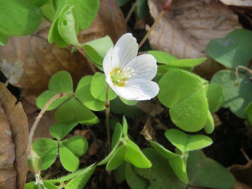 oxalis acetosella wood sorrel common wood sorrel