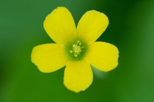 oxalis corniculata wildflower wildflower close-ups