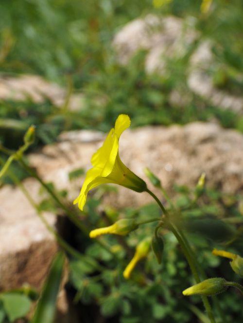 oxalis pes-caprae flower blossom