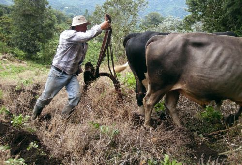 Oxen Plowing 3