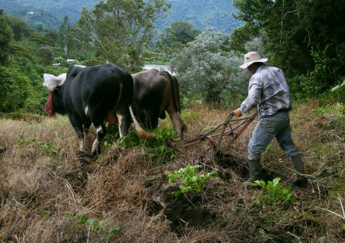 Oxen Plowing 4