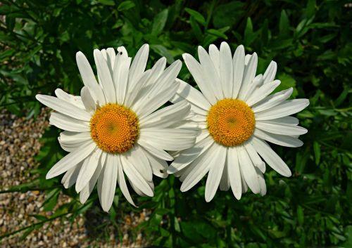oxeye daisy daisy flower