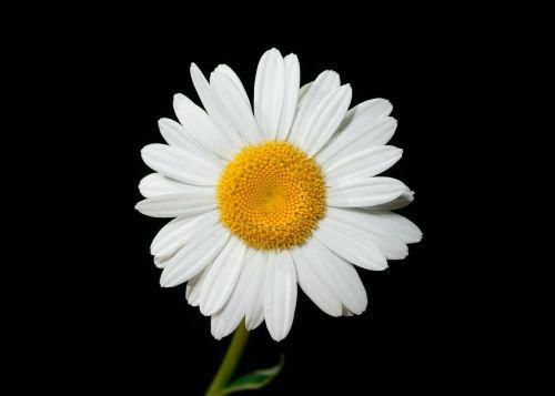 oxeye daisy flower ox eye