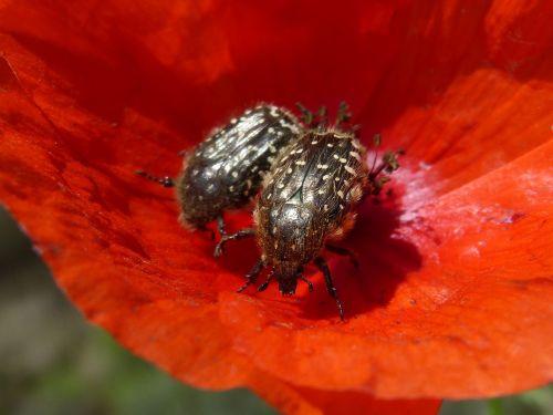 oksitreirafestas,vabalas,Coleoptera,gėlė,libar,plaukuotas vabalas,pora