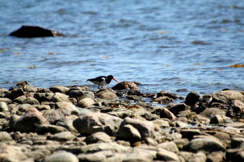 oystercatcher bird haematopus ostralegus