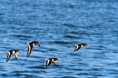 oystercatcher birds north sea