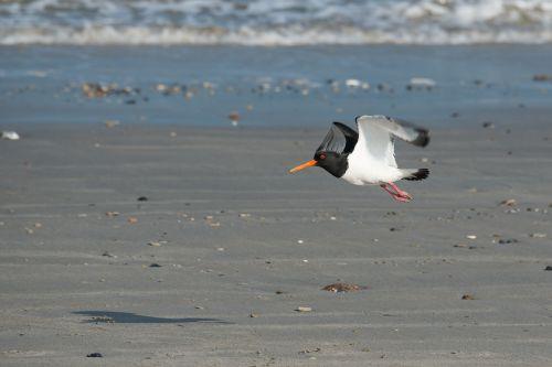 oystercatcher bird fly