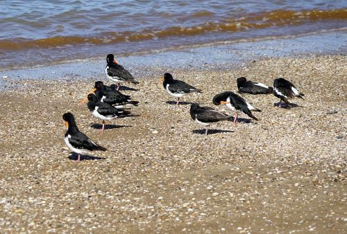 oystercatcher beach sea