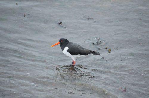 oystercatcher bird fauna