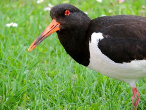 oystercatcher watt birds seevogel