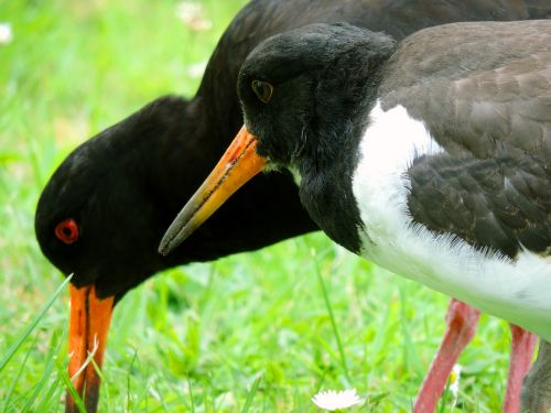 oystercatcher mother bird bird young