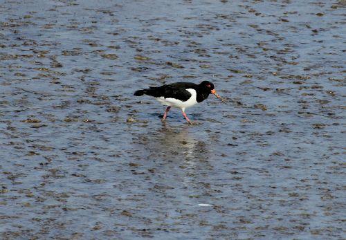 oystercatcher haematopodidae watt bird